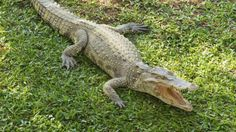 """"""" 'A little snippy': The team worked with juvenile, 40-50cm saltwater crocodiles"""" (BBC News)"""