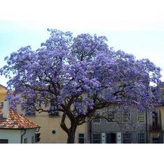 Kejsarträd - Paulownia tomentosa Bladen är stora och formade som hjärtan men det mest utmärkande för detta träd är den överdådiga blomningen som inträffar under våren/försommaren. De blålila klockformade blommorna växer i 25 cm långa klasar och bjuder på ett fantastiskt skådespel. Kejsarträdet tål kyla ner mot -26°C och växer i trädgårdar i södra Sverige.