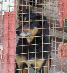 10/2016****AT SHELTER SINCE APRIL 2014!!! Jake is a senior Shepherd/Rottweiller mix who is at Jay County Animal Control, Portland,In.