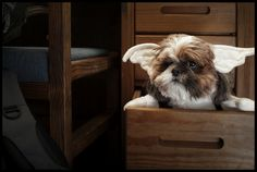 Shih Tzu in a drawer wearing angel wings. Bizarre but cutetastic! (mogwai by exclamationpoint, via Flickr)