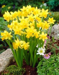 Tete-A-Tete Value Pack (Narcissus) Tete-a-tete daffodils.Tete-a-tete daffodils. Bulb Flowers, Flowers Nature, Flowers Garden, Spring Flowers, Planting Flowers, Garden Bulbs, Garden Plants, Pretty Flowers, Yellow Flowers