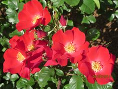 Shrub rose, a single vibrant red...with huge red thorns.... Does anyone have any idea of the name?