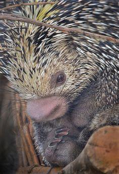 Brazilian Tree Porcupine