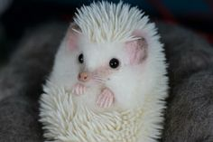 Curled White Hedgehog. White spines on pure white hair with bright eyes.