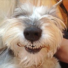 I love this shot, you gotta love up close and personal shots of schnauzer noses I love when dogs smile(: Smiling Animals, Happy Animals, Funny Animals, Cute Animals, Smiling Dogs, Cute Puppies, Cute Dogs, Dogs And Puppies, Doggies