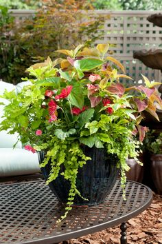 This sensational container garden is composed of two coleus varieties, one red and one chartreuse; a pale pink Dragonwing begonia, deep pink calibrachoa; red gerbera daisy; and variegated Duranta, and golden Lysimachia. The repeated theme of chartreuse foliage is what holds this complicated composition together.