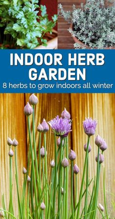 Indoor herb gardening is fun and easy. In this post, we will go over 8 herbs to grow indoors. These are herbs that are simple to grow. #indoorherbgarden #indoorgardening Growing Herbs In Pots, Easy Herbs To Grow, Herb Gardening, Herbs Indoors, Homesteading, The Help, Harvest, Garden Ideas, Vegetables