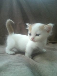 I NEED IT.... Like yesterday! I adore munchkin cats!!