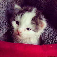 Shazam, chaton Européen, kitten