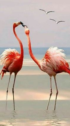 kiss at Romance Set Foto Flamingo, Flamingo Art, Pink Flamingos, Pretty Birds, Beautiful Birds, Animals Beautiful, Cute Animals, Flamingo Pictures, Flamingo Wallpaper