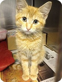 Mila is an adoptable cat at NY Humane Society http://www.adoptapet.com/pet7284199.html