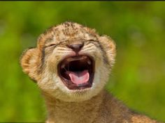 adorable baby lion crying