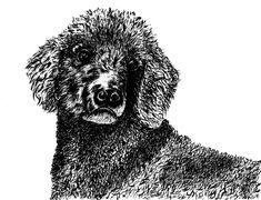 Pudel Hund mit Tusche und Feder gezeichnet, Welpenblick Gouache, Watercolor, Illustration, Animals, Painting, Design, Art, Poodles, Puppys