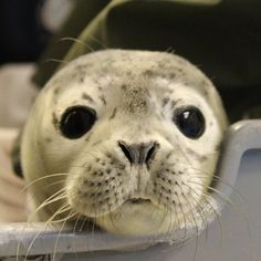 Gouda, 4-day old Harbor seal pup!