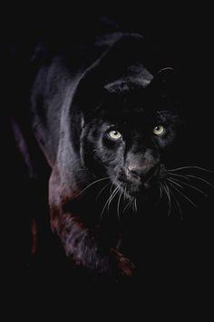 motivationsforlife:  Black Leopard by  Gary Brookshaw
