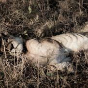 Tracking Instincts   krazywithtravel African Wild. Sabi Sand. Kruger National Park. Lion