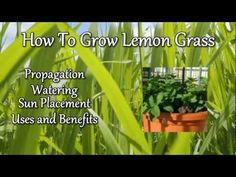 Learn how to grow Lemongrass, http://www.pottedvegetablegarden.com/ fruit trees, vegetables and herbs today!  Click the link to get directed there now and I will see you there Marty from the Potted Vegetable Garden.