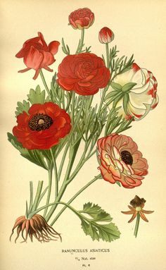 Favourite flowers of garden and greenhouse /. London and New York :Frederick Warne co.,1896-97.. biodiversitylibrary.org/page/36441925