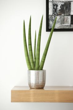 Sansevieria with white pebbles bathroom pinterest for Plante aloe vera chambre