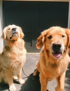 Cute Baby Animals, Animals And Pets, Funny Animals, Cute Dogs And Puppies, I Love Dogs, Doggies, Dogs Golden Retriever, Cute Animal Pictures, Animal Memes