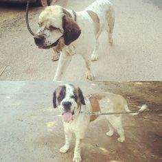 St. Bernard dogs for adoption. Cinnamon and Snow were living in dreadful conditions in Delhi. Their owner didn't even botherto feed them so the poor girls survived on garbage and they had multiple maggot wounds. Rescued by an animal lover Cinnamon and Snow have recovered and are flourishing in their foster home. They have been vaccinated and will be spayed (sterilized)once the weather improves. The girls are between 1 and 2 years of age happy friendly extremely affectionate and completely…
