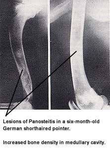 Panosteitis Natural Treatment