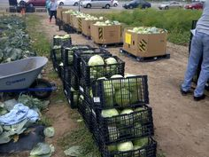 Harvesting cabbage on Orange County Produce Farm Land in Irvine California