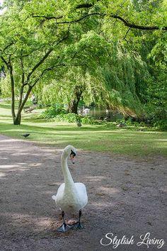 Schwan im Eichenpark Hamburg