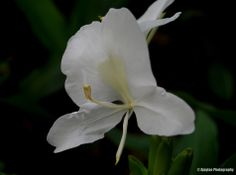 Hedychium coronarium - Butterfly Ginger Lily - Ajaytao