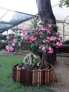 ROSA DO DESERTO DA FLORICULTURA BELA PLANTA EM PALMAS-TO. Bonsai Plants, Bonsai Garden, Palmas To, Desert Rose, Greenhouses, Cacti And Succulents, Ikebana, Planting Flowers, Deserts