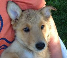 Sidney is an adoptable German Shepherd Dog Dog in Mount Bethel, PA. There are 5 adorable puppies in this litter pulled from a kill shelter. They are most likely shepherd/collie mixes and are 8 weeks ...