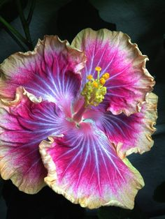 Tropical hibiscus 'Voila' - a Cajun series hybrid by DuPont, 2007 (Gabriel x Ora Verde). Vibrant purple, fushia pink, and yellow flowers ranging from 6 to 8 inches. Ordered from Logee's for spring 2018 delivery. Photo by Chris Luk.