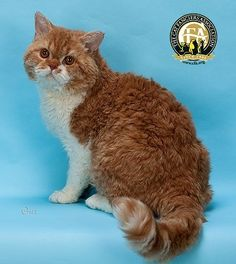 One of the newest natural breeds, this naturally curly cat originated from a housecat, Miss DePesto of Noface, found in a shelter in Montana. Selkirk Rex Kittens, Curly Cat, Singapura Cat, Snowshoe Cat, Cute Cats And Dogs, Adorable Kittens, Rex Cat, Cats For Sale, Siberian Cat