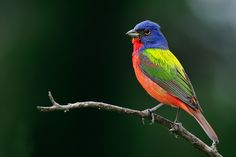 Painted Bunting - aren't these colors amazing?  I love the color variations that you can find in birds.