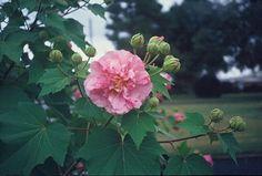 Hibiscus mutabilis aka confederate rose. i'm sure my bf will love this (we have confederate jasmine ^_^)