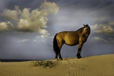 Wild horse in Corolla, NC