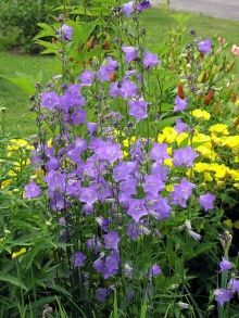 Deer Repellent plants.  Huge list of perennials and annuals that deer won't touch! includes pictures and descriptions