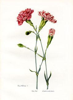 carnation - tattoo birth flower - January. I like them intertwined for the twins