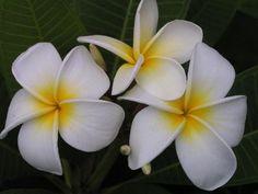 Tropical, exotic, Hawaiian Plumeria