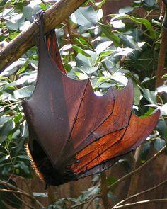 Beautiful wings of a Fruit bat Demon Wings, Monster Costumes, Wings Drawing, Dark Wings, Fruit Bat, Funny Drawings, Ap Art, Bike Art, Art Reference
