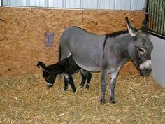 Miniature Donkeys | Miniature Donkeys: Miniature Donkey Momma and Baby photo by Kat