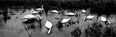 Koudelka. Panoramic of Swans