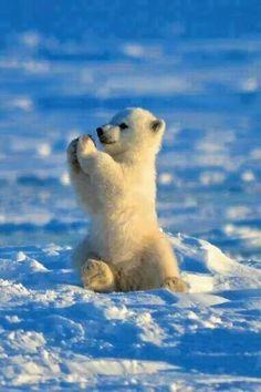 Baby polar bear. #adorbs!