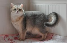 Females golden shaded and silver tabby british shorthair Fat Cats, Cats And Kittens, Munchkin Kitten, Cat Whisperer, F2 Savannah Cat, British Shorthair, Cat Life, Cat Toys, Animals Beautiful