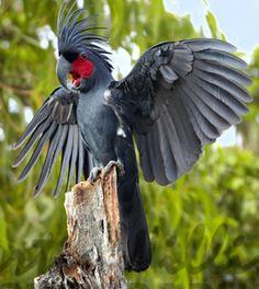 palm-cockatoo-mrw3285_zps71080a8e.jpg