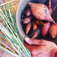 Lemongrass and Sweet potatoes from the garden today #lyanislunchbox #harvest #garden #growyourownfood #sweetpotato #greenthumb #backinthedirt #getdirty #urbanfarmer