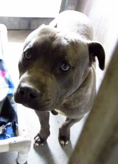 GONE --- SUPER URGENT - A4676522  My name is Diesel and I'm an approximately 10 month old male pit bull. I have been at the Baldwin Animal Care Center since February 14, 2014. I will be available on February 19, 2014. NOTE: Pit breeds are only getting 4-5 days before killed. Baldwin Park shelter, 4275 Elton Street, Baldwin Park, California 91706 Phone 626 430 2378  https://www.facebook.com/photo.php?fbid=735948403083666&set=pb.100000055391837.-2207520000.1392770865.&type=3&theater