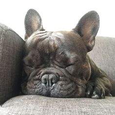 Sundays are for one thing only.. Nap time! Basile the French Bulldog