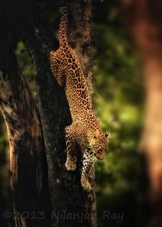 Indian leopard (female) at the Satpura National Park,India-10 Worlds Amazing Forests