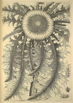 Scientific Illustration, vintage line drawing of thistley type flower